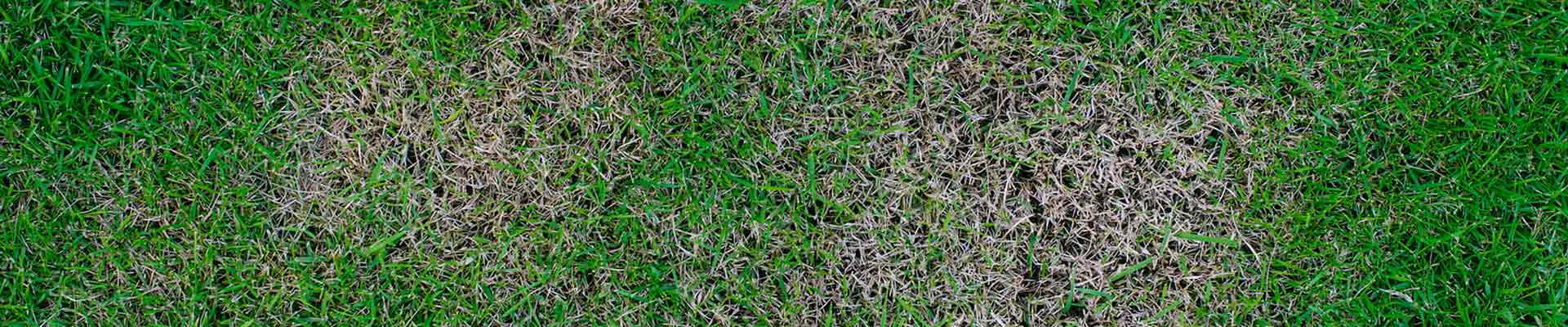 lawn fungus in your lawn-find out how to resolve your problems