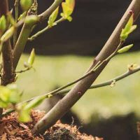 Use mulch when transplanting shrubs